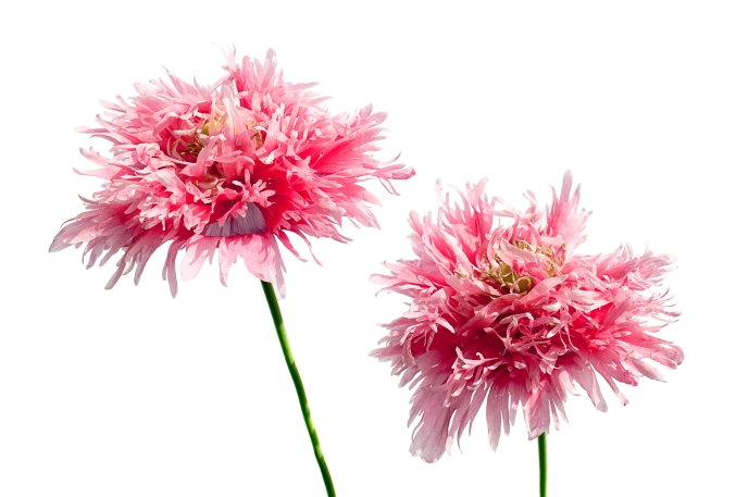 Pink Poppies-4
